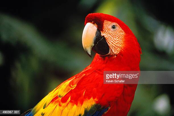 scarlet macaw (ara macao), belize - scarlet macaw stock pictures, royalty-free photos & images