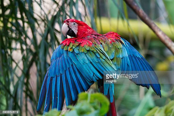 Scarlet Macaw Biocentro Guembe Santa Cruz Bolivia