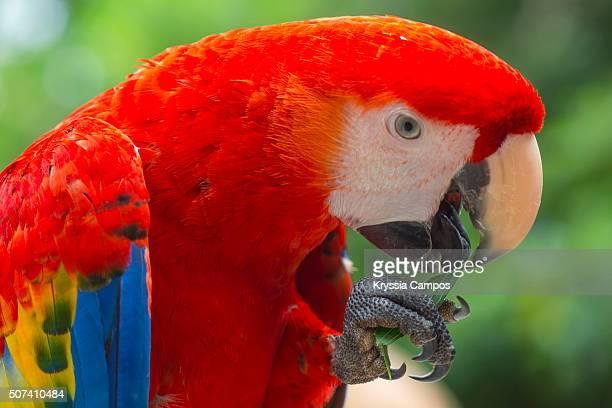 scarlet macaw (ara macao)biting a sprig of grass - papagayo guanacaste fotografías e imágenes de stock