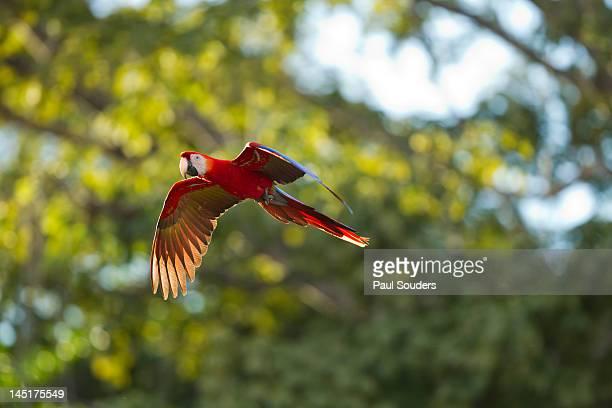 scarlet macaw, costa rica - papagayo guanacaste fotografías e imágenes de stock