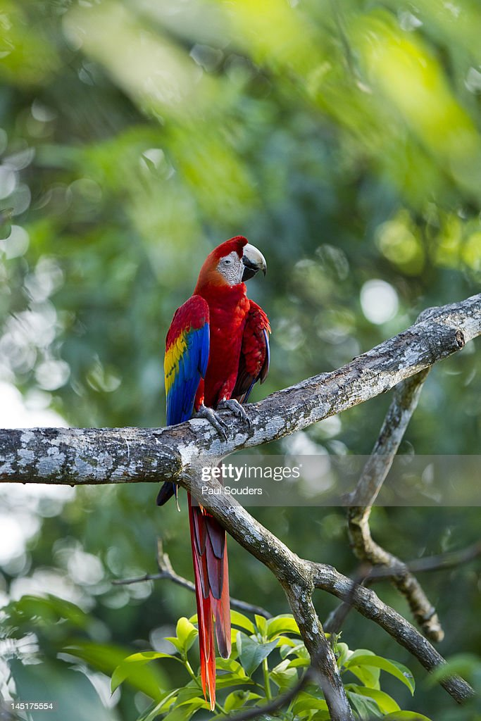 Scarlet Macaw, Costa Rica : Stock-Foto