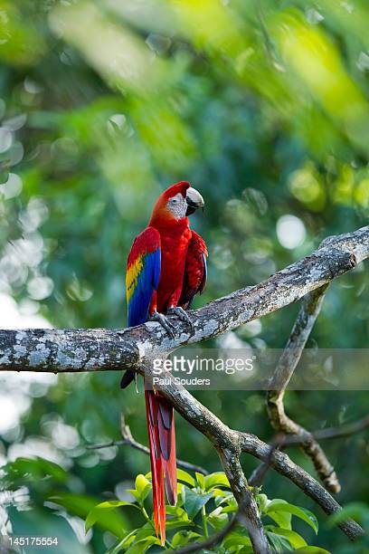 scarlet macaw, costa rica - guanacaste stock pictures, royalty-free photos & images