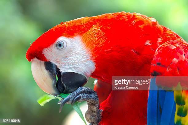 scarlet macaw (ara macao), costa rica - papagayo guanacaste fotografías e imágenes de stock