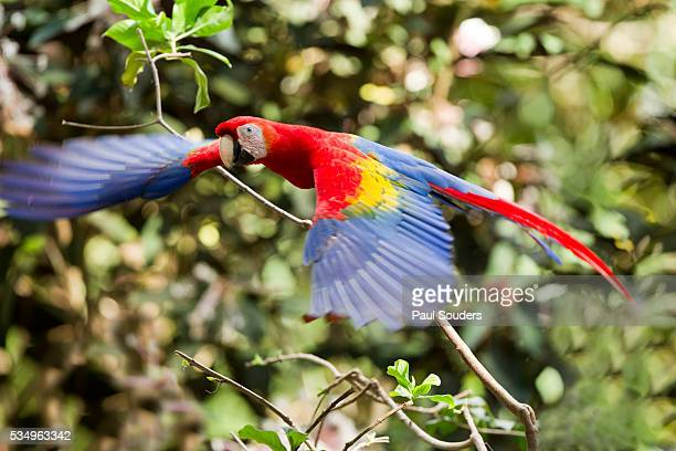 scarlet macaw, costa rica - scarlet macaw stock pictures, royalty-free photos & images