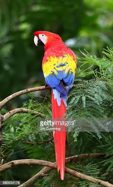 Scarlet Macaw - Costa Rica