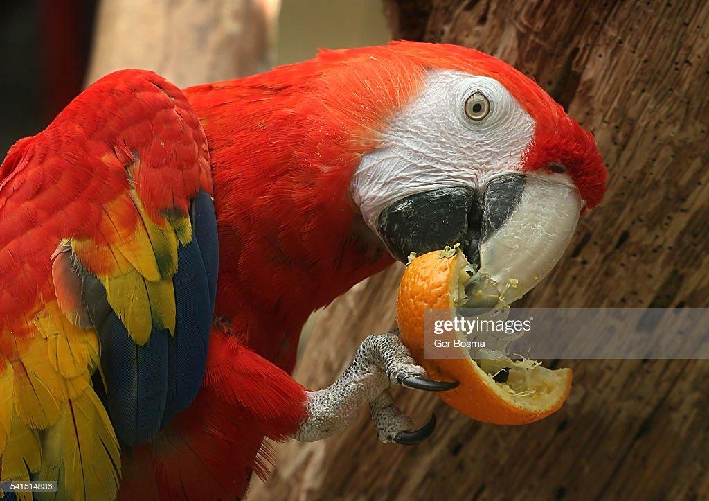 Scarlet Macaw Eating An Orange : Stock Photo