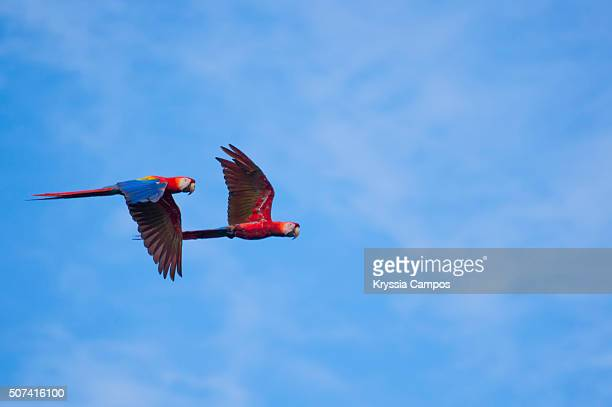 scarlet macaw (ara macao) flying against blue sky - corcovado stock pictures, royalty-free photos & images