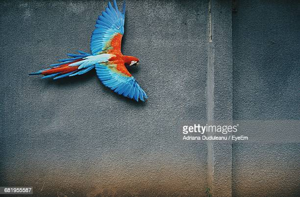 scarlet macaw flying against wall - oiseau tropical photos et images de collection