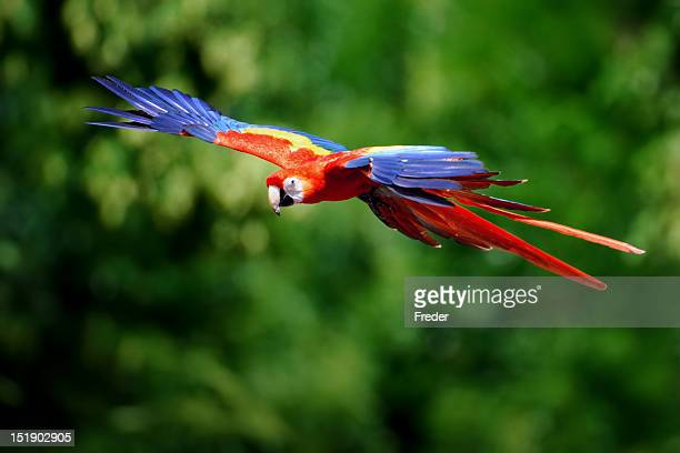 scarlet macaw flying in nature - scarlet macaw stock pictures, royalty-free photos & images