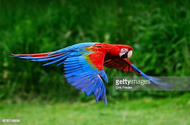 scarlet macaw flying in nature - oiseau tropical photos et images de collection