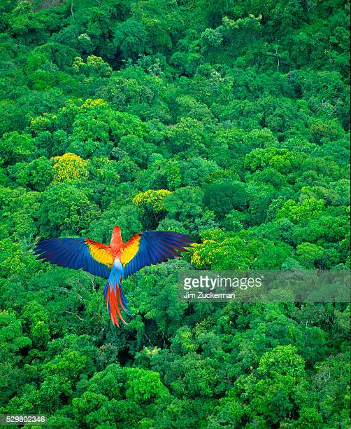 scarlet macaw flying over rainforest - costa rica stock pictures, royalty-free photos & images