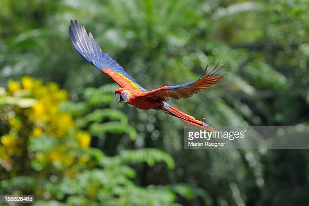 Scarlet Macaw (Ara macao) in flight.