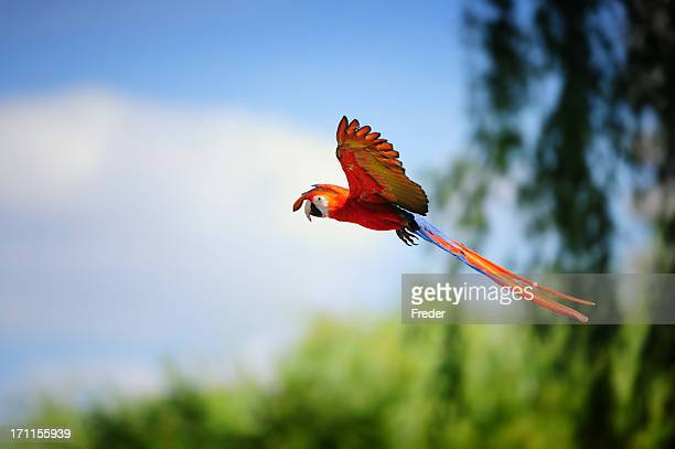 scarlet macaw in flight - scarlet macaw stock pictures, royalty-free photos & images