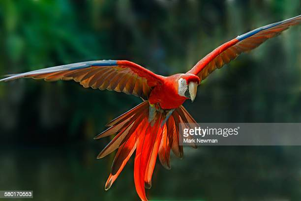 scarlet macaw in flight - tropical bird stock pictures, royalty-free photos & images