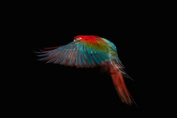 A scarlet macaw in mid flight.