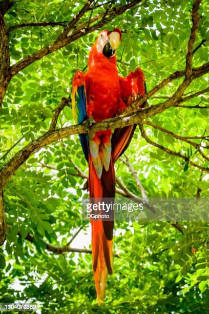 ara scarlatta in natura - ogphoto foto e immagini stock