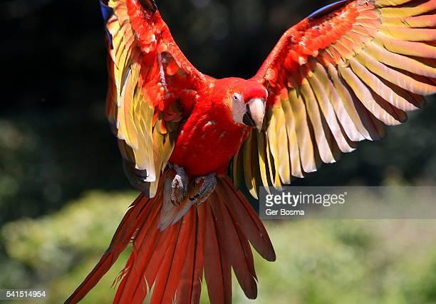 scarlet macaw incoming - gliedmaßen körperteile stock-fotos und bilder