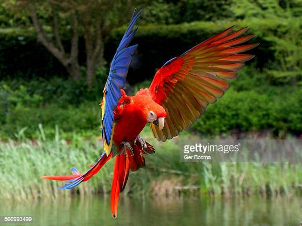 scarlet macaw incoming - scarlet macaw stock pictures, royalty-free photos & images
