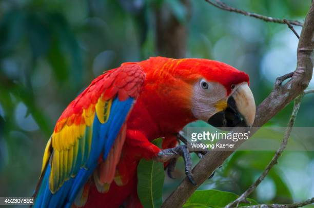 Scarlet macaw is climbing in a tree at the Maranon River in the Peruvian Amazon Basin.