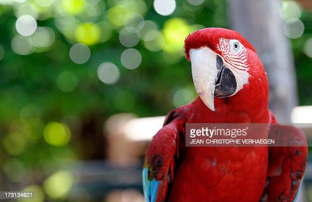 A scarlet macaw is pictured at the zoo of the French eastern city of Amneville on July 8 2013 AFP PHOTO / JEANCHRISTOPHE VERHAEGEN