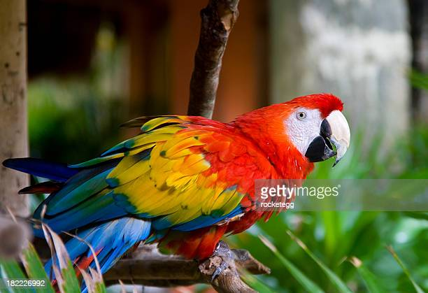 Scarlet Macaw on Perch