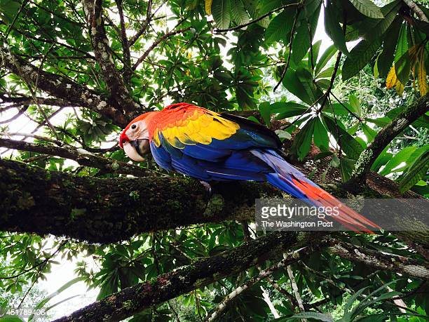CHAJUL MEXICOA scarlet macaw parrot in a tree at the biological research station in the jungle