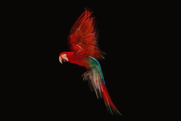 Scarlet Macaw parrot in flight