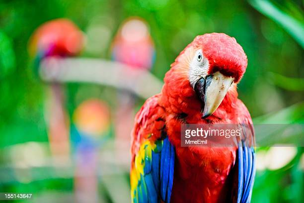 scarlet macaw - parrot - mayan riviera stock photos and pictures
