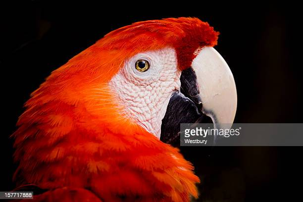scarlet macaw parrot - scarlet macaw stock pictures, royalty-free photos & images