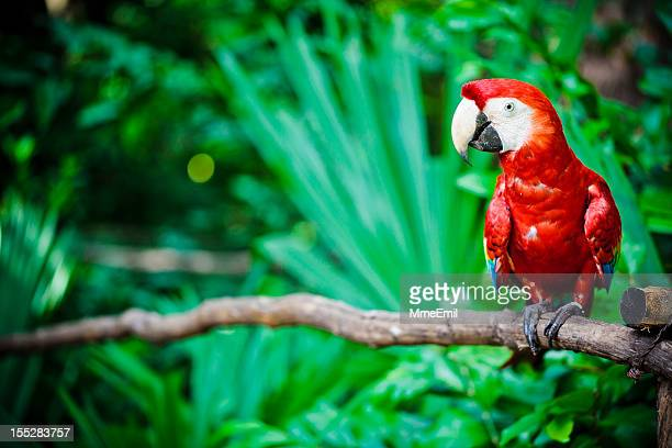 a scarlet macaw parrot sitting on a branch - mayan riviera stock photos and pictures
