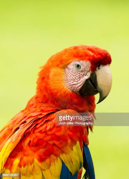 scarlet macaw parrots (ara macao), costa rica - perroquet photos et images de collection