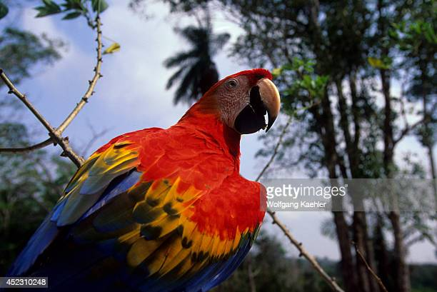 Scarlet Macaw perched in a tree along the Amazon River in Brazil