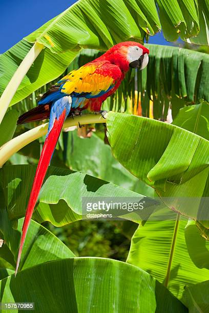 scarlet macaw perched on banana tree - scarlet macaw stock pictures, royalty-free photos & images
