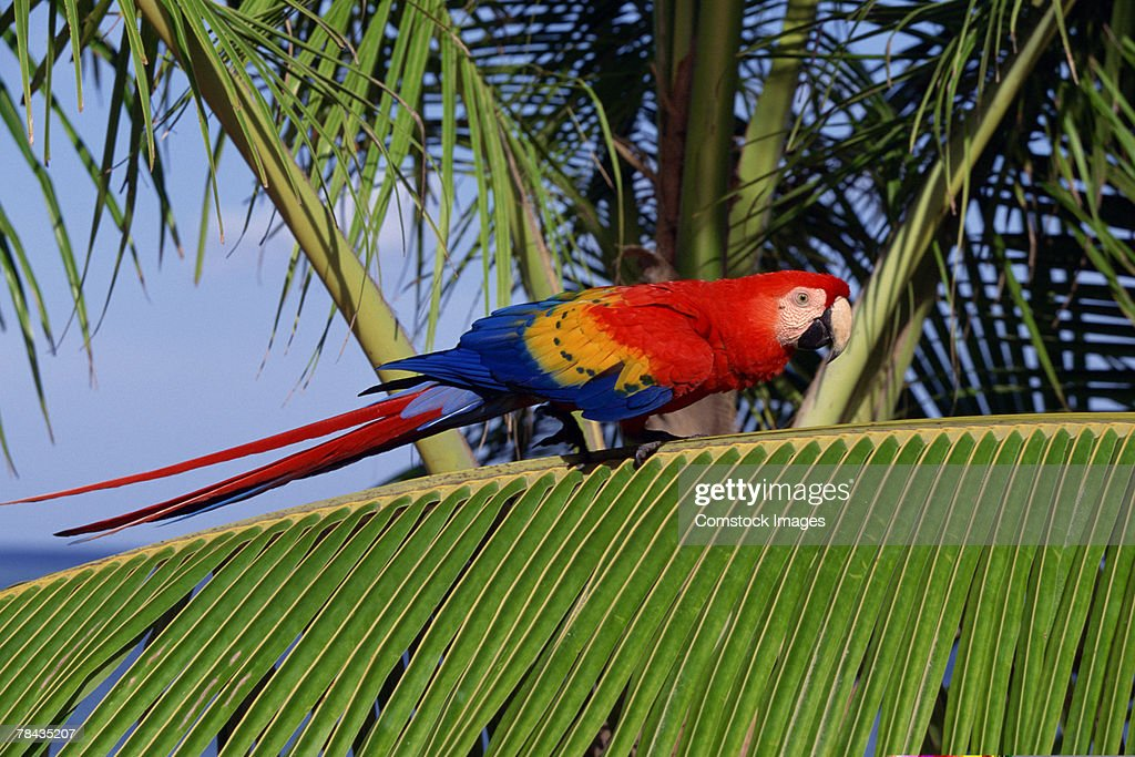 Scarlet macaw perched on palm frond , Honduras : Stockfoto