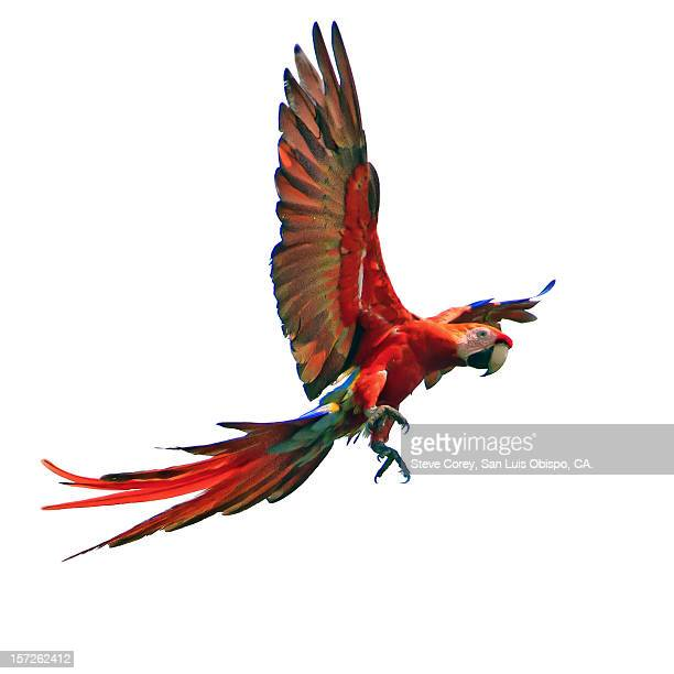 scarlet macaw - oiseau tropical photos et images de collection