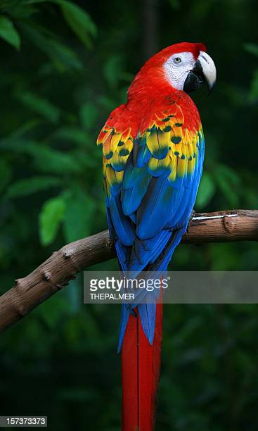 scarlet macaw - scarlet macaw stock pictures, royalty-free photos & images