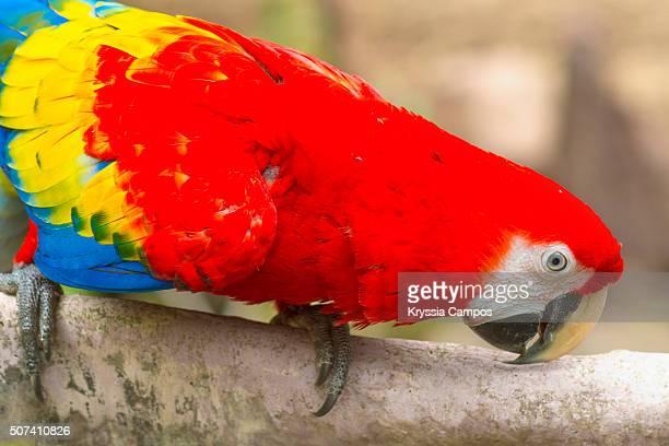 scarlet macaw (ara macao) - papagayo guanacaste fotografías e imágenes de stock