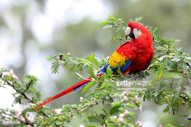 scarlet macaw - scarlet macaw stock photos and pictures
