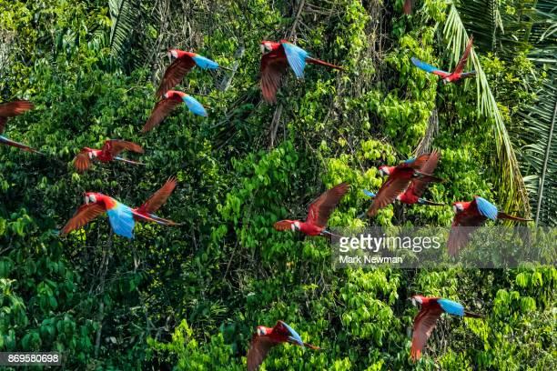 scarlet macaw - コンゴウインコ ストックフォトと画像