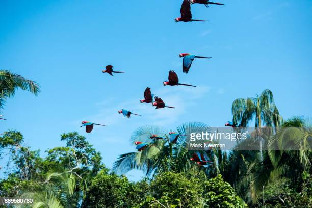 scarlet macaw - amazon region stock pictures, royalty-free photos & images