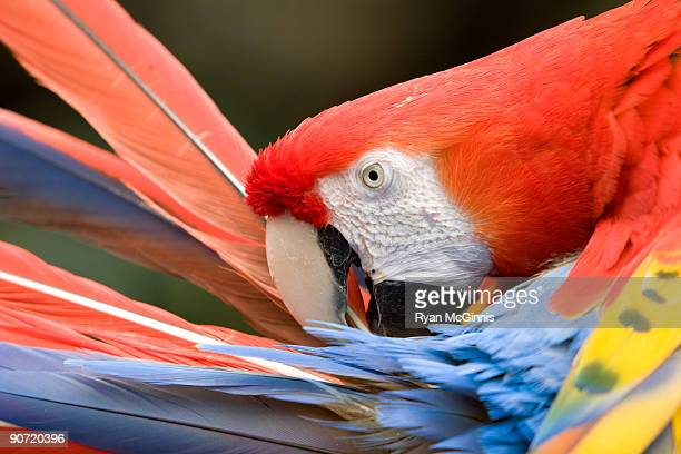 scarlet macaw - ryan mcginnis stock photos and pictures