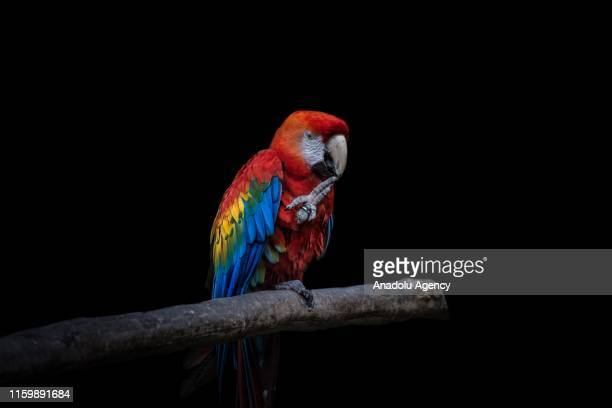 Scarlet Macaw rescue from ilegal trafficking is seen at Santa Cruz Foundation on San Antonio Cundinamarca Colombia on August 2 2019 This animals are...