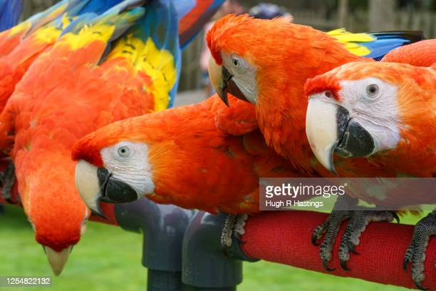Scarlet Macaws all brothers and sisters born form the same partner birds in captivity at Paradise Park get ready for the reopening of the visitor...