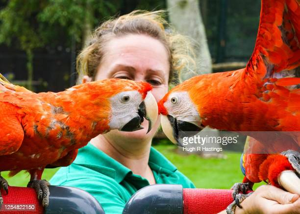 Scarlet Macaws all brothers and sisters born form the same partner birds in captivity at Paradise Park get ready with keeper Leanne Gilbert for the...
