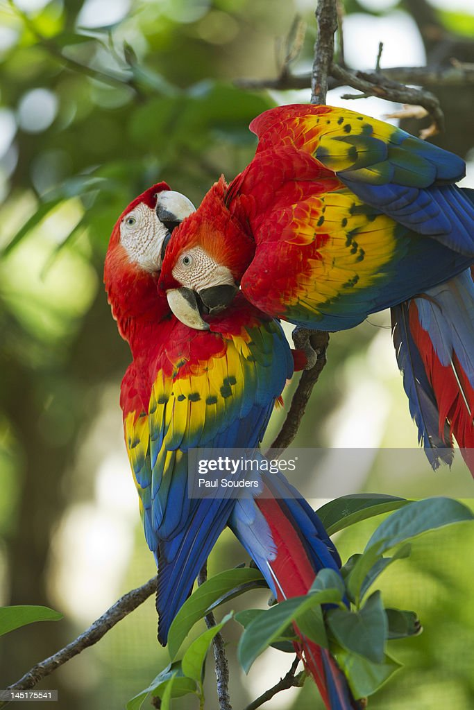 Scarlet Macaws, Costa Rica : Stock Photo