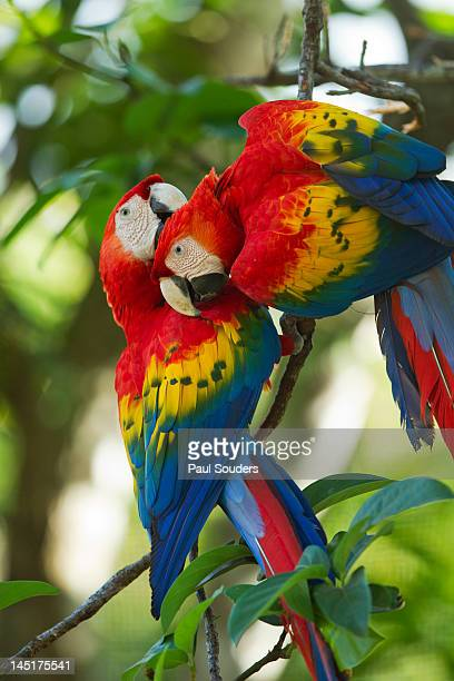 scarlet macaws, costa rica - guanacaste stock pictures, royalty-free photos & images