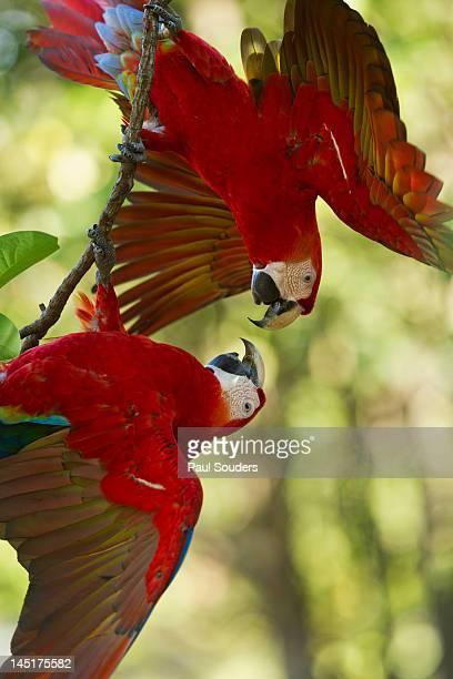 scarlet macaws, costa rica - papagayo guanacaste fotografías e imágenes de stock