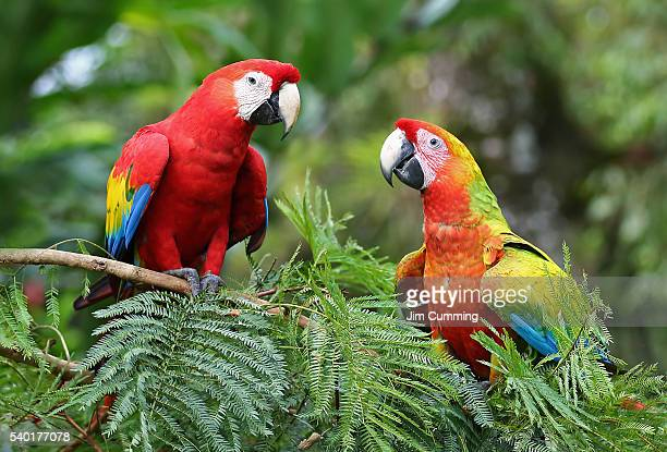 scarlet macaws (ara macao) costa rica - parrot stock pictures, royalty-free photos & images