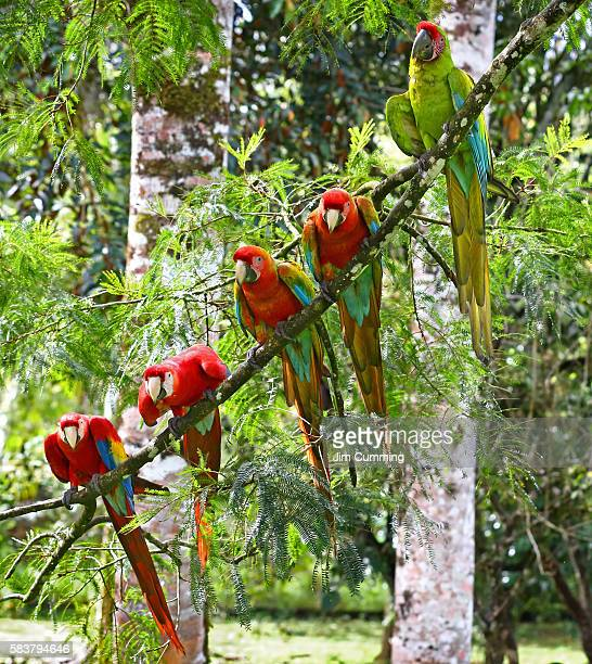 scarlet macaws (ara macao), costa rica - scarlet macaw stock pictures, royalty-free photos & images