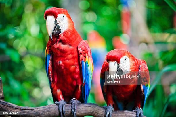 ibis macaws-parrots - playa del carmen fotografías e imágenes de stock